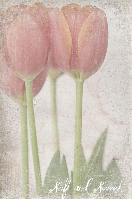 Soft & Sweet Tulips-2