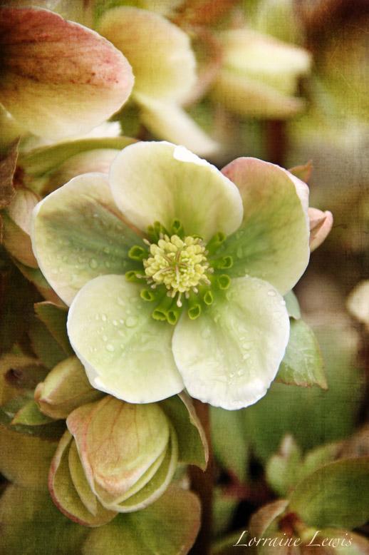 Lenton Rose