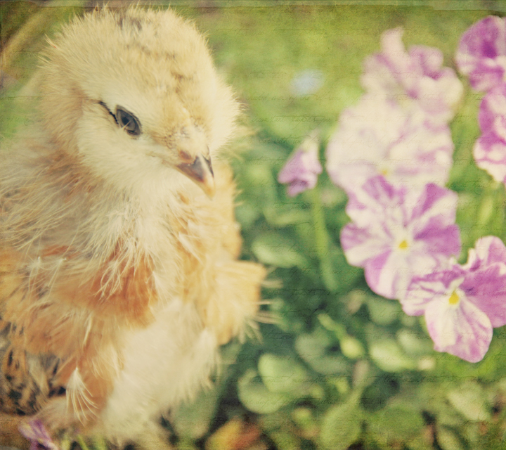 Sweet spring chick