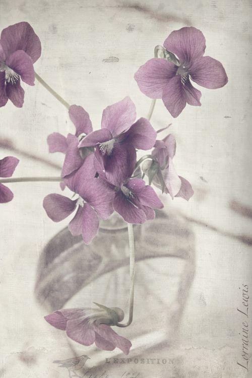 Sweet Violets8